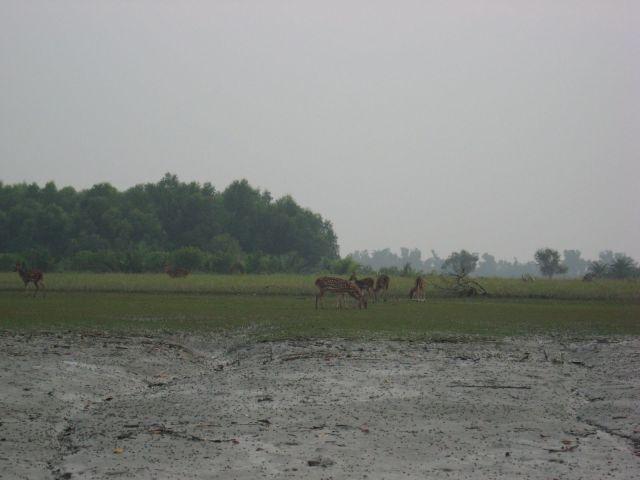 hiron point chital deer